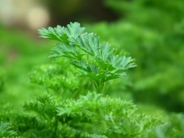 parsley-246557_1280