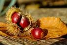 chestnut-1784282_1280