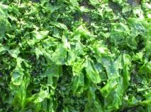 seaweed-672981.jpg