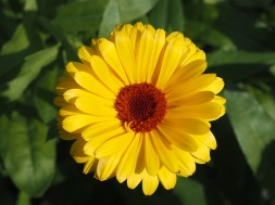 marigold-1501173_640